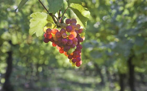 виноград, скопление, branch