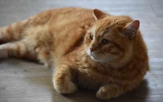кот, собака, domestic, own, short, владелец, сиамский, порода, волосы