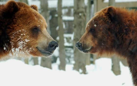 медведи, animals, животные