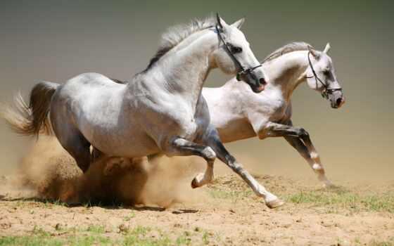 лошади, белые, лошадей, пыль,