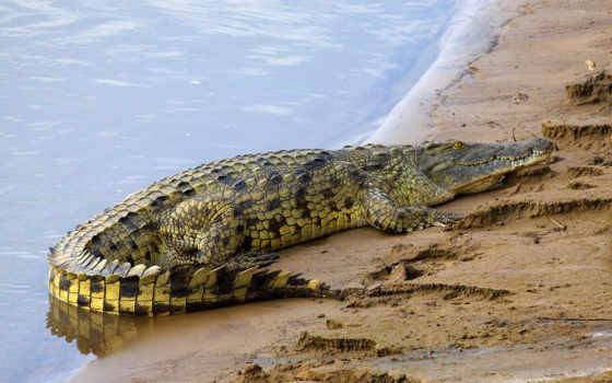 крокодилы, крокодил, коллекция, берегу,