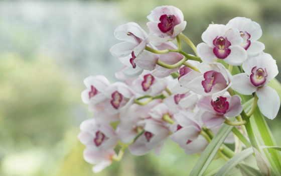 орхидеи, цветы, розовые