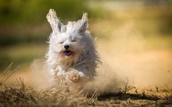 бишон, гаванский, лохматая, собака, zhivotnye, run, теме, пыль,