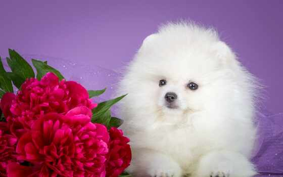 шпиц, white, щенок, пионы, desktop, собаки, собака, zhivotnye,