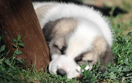 хаски, siberian, durmiendo