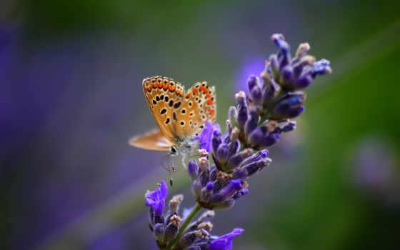 лаванды, цветы, лаванда, посадка, cvety, вектор, грунт, lavender,