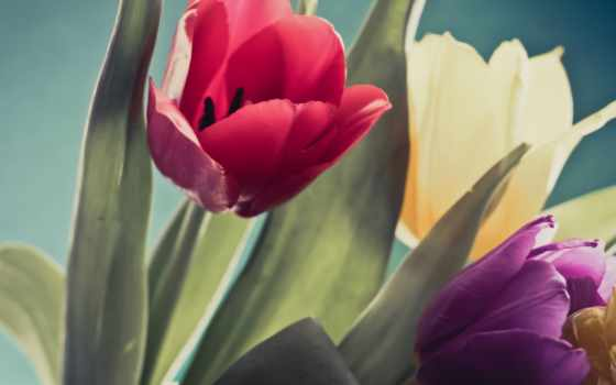 тюльпан, flowers, tulips, yellow, purple, red, images,