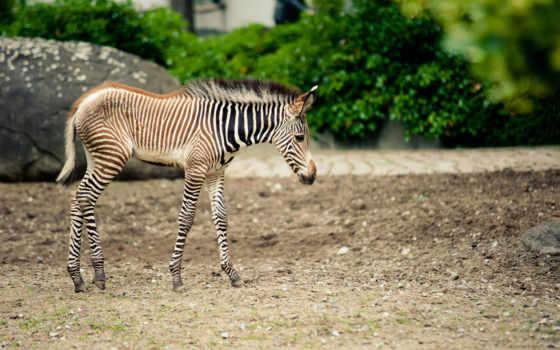 zebra, rare, pictures, коллекция, зебр, фон, prenoms, étiquettes,