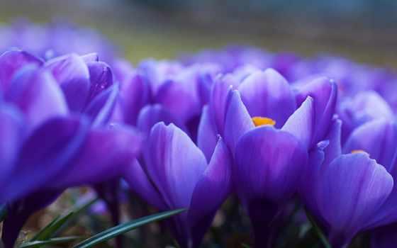 cvety, фиолетовые, flowers, крокусы, красивые,