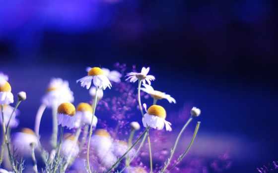 яркие, цветы, ромашки