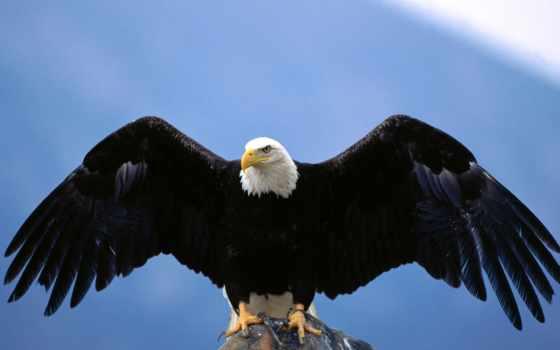 белоголовый, орлан, крылья, haliaeetus, расправил,