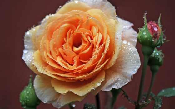 роза, роса, drops