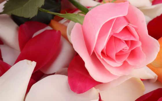 cvety, розы, flowers, лепестки, растения, картинка, цветы, бутон, роза,