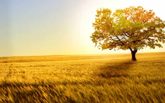 поле, пшеница, колоски, ветер, золотая, золотистый, scenery, нояб, природа,