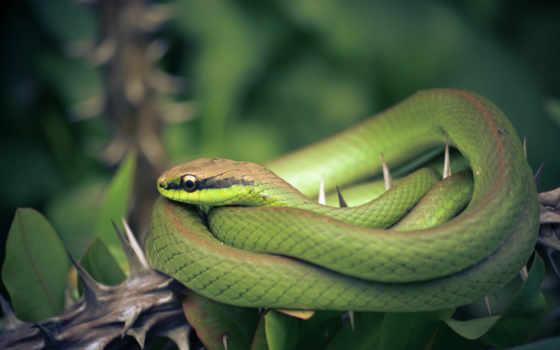 snake, zhivotnye, ок, змеи, ядовитые, знакомств,