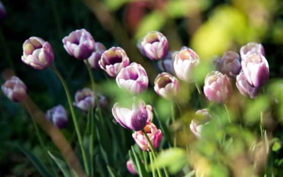 тюльпаны, цветы, природа