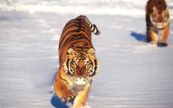 тигр, тигры, снегу