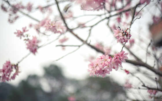 Сакура, цветы, цветение