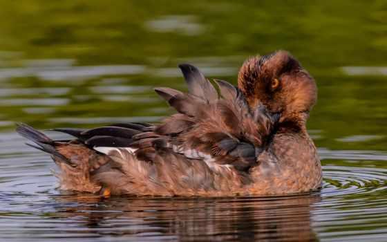 утка, перья
