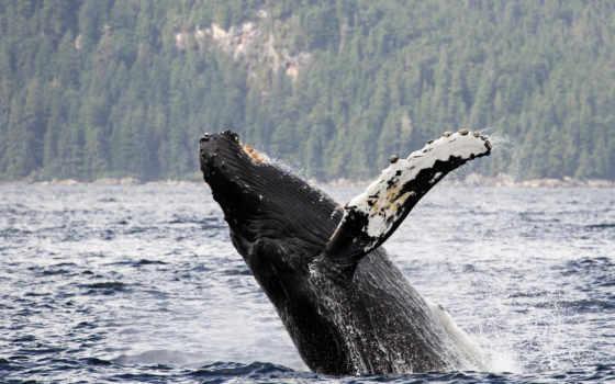 china, humpback, аляска, water, длиннорукий,