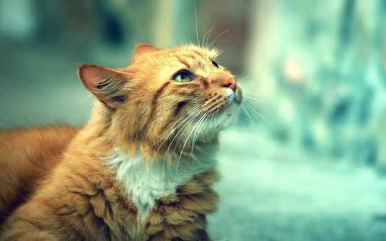 тюлень, red, свет, красивый, смотрит, кошки, кот, широкоформатные,