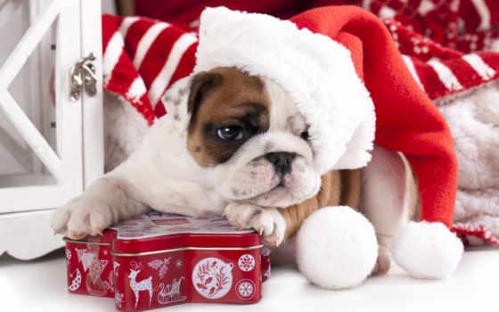 bulldog, шапка, щенок, собака, english, box, новым, годом, new, год,