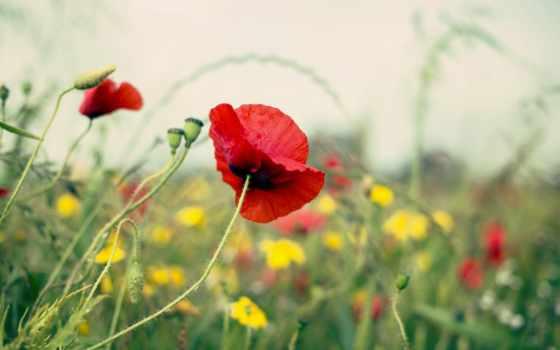 природа, поле, summer, poppy