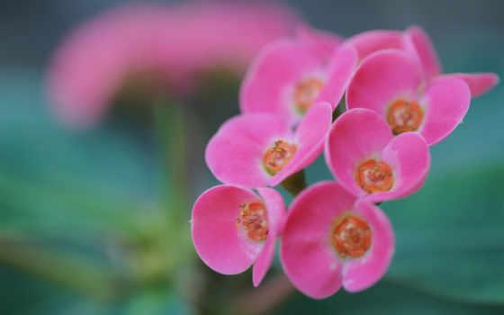 соцветие, розовый