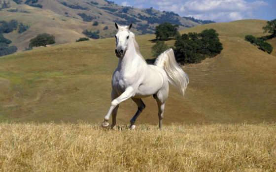 лошадь, white, кони