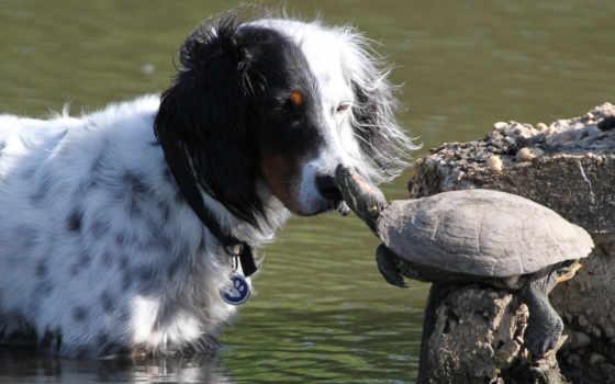 черепаха, черепахи, собака, лучшая, коллекция, уже, zhivotnye, широкоформатные, загружено,