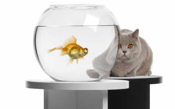 akwarium, рыбка, złota, kot, pulpit, kula, аквариум, fish, рыбки, tapety,