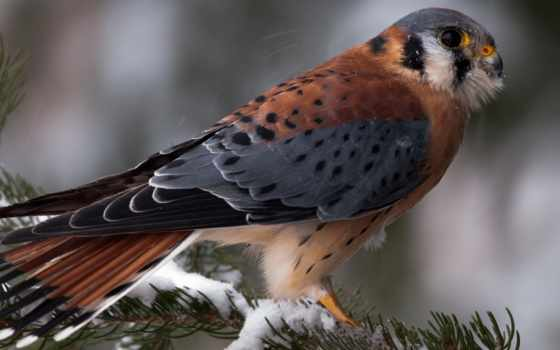 перепелятник, птица, птицы