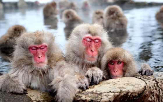 обезьяны, стресса, японские, geographic, купаются, горячих, national, снятии, дней,