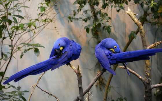 macaw, птица, попугай, дерево, r-no-cus, mac, zwierz, biondala, ty, wallbox, obserwuj-cych