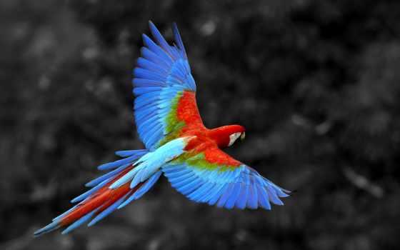 попугай, обои, фото, попугаи, ара, полет, большой,