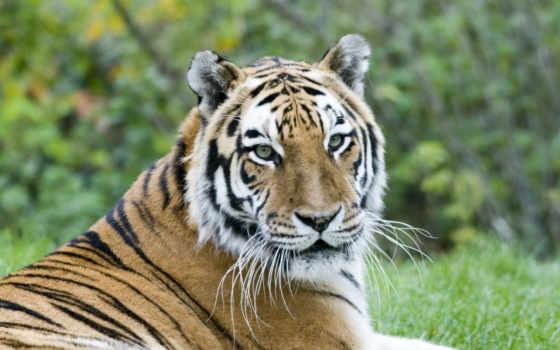 тигры, комментарий