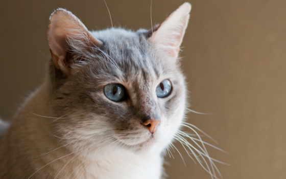 кошки, кот, серая, кошек, светло, собаки, широкоформатные, домашние, архивы,