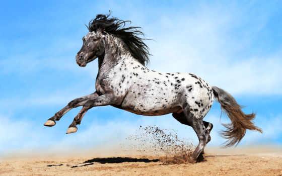 аппалуза, лошадь, пестрая, порода, породы, скакун,
