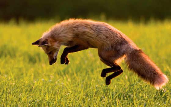 лисы, прыжок, лучшая, уже, загружено, коллекция, zhivotnye, фокс,