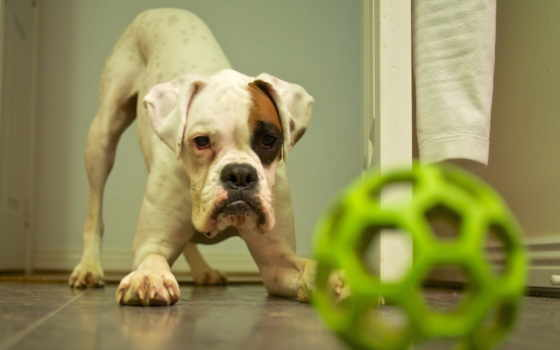 boxer, бойцы, собака, pinterest, love, dogs, you, see, best,
