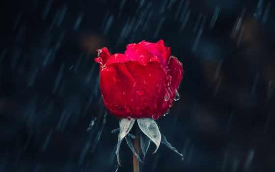 love, shayari, ipad, liye, status, ke, растение, hindi, роза, har
