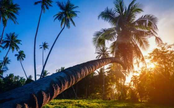 palm, коллекция, пляж, babassu, зелёный, кокосовый, трава, дерево, близко