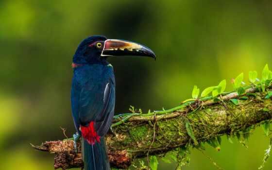 птица, costa, rica, природа, zmachacek