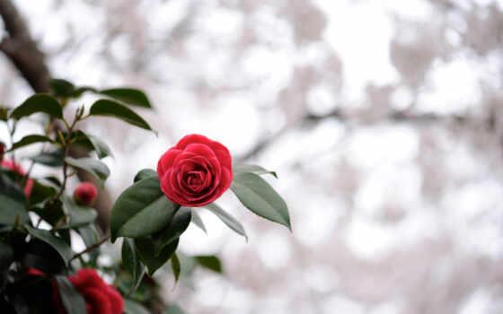 cvety, scarlet, valentine, макро, растение, red, брайан, color, drawing, пушистик, назад