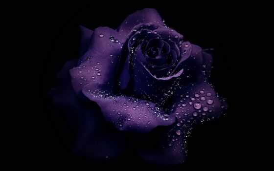 роза, drop, purple, cvety, red, цветы, water, black, фон, claudia, sample