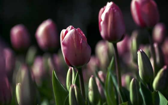 тюльпаны, цветы, макро