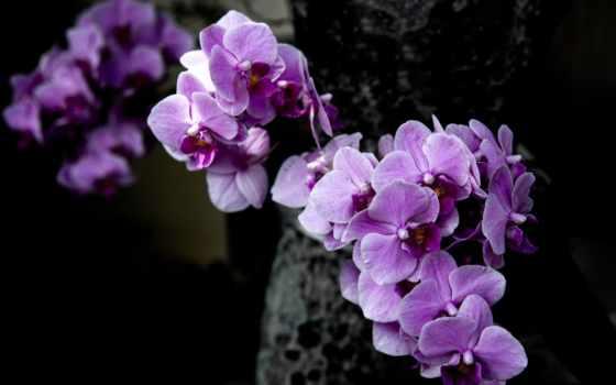 purple, орхидея, orchids