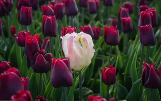 тюльпаны, тюльпанов, цветы