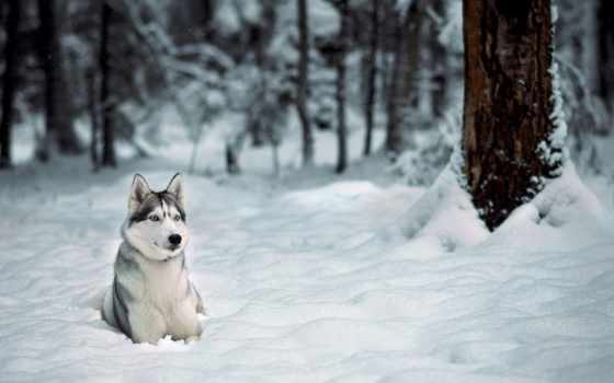 хаски, winter, снег, собака, trees, лес, зимой, снегу, красивые,