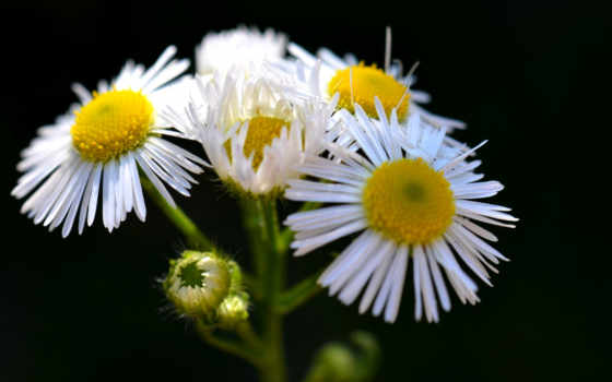 white, daisies, daisy, full, free, images,